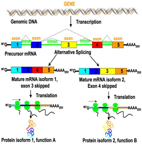 What is Alternative Splicing, and Why is it Important