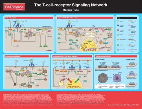 The T-cell-receptor signaling network | Journal of Cell