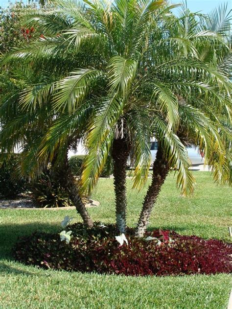 View picture of Pygmy Date Palm, Robellini Palm (Phoenix