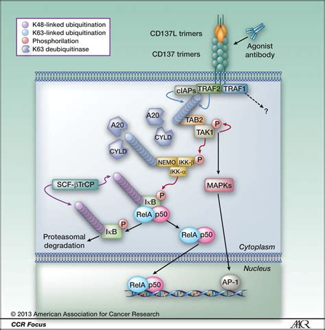 Agonist Antibodies to TNFR Molecules That Costimulate T